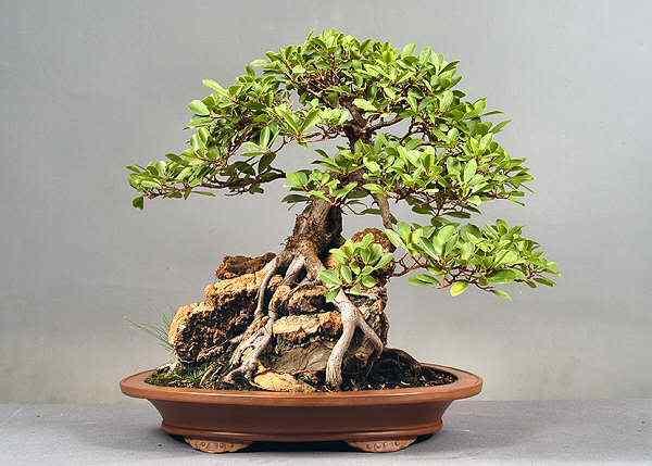 1705x60020clcomp30 Bonsai: A arte de criar árvores em miniatura