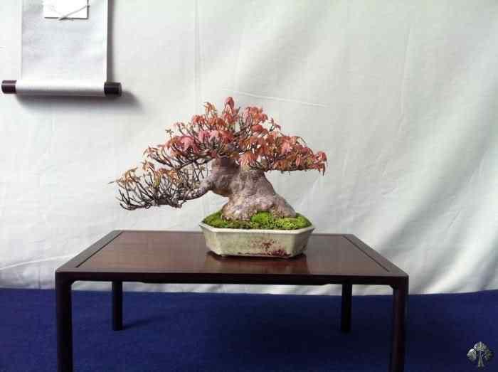 196854 20110404 1766062373 Bonsai: A arte de criar árvores em miniatura