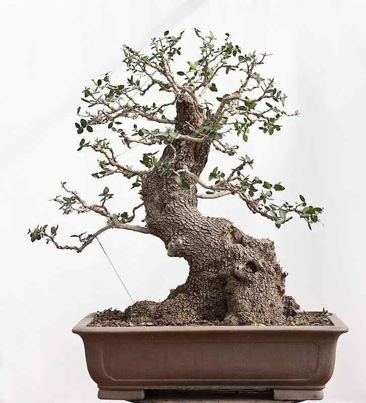 2 1 Bonsai: A arte de criar árvores em miniatura