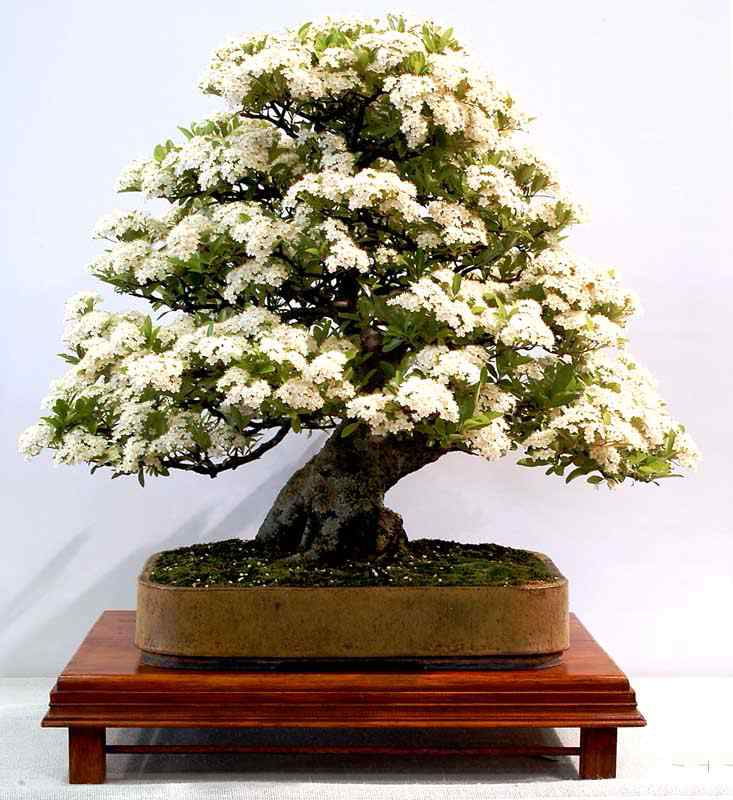 2004060097 Bonsai: A arte de criar árvores em miniatura