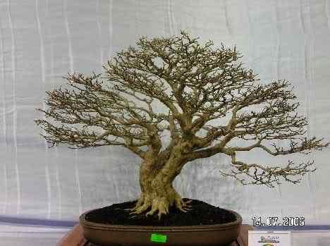20dbscd Bonsai: A arte de criar árvores em miniatura