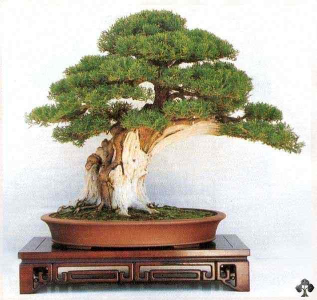 22 platycladus orientalis 20101030 2005789831 Bonsai: A arte de criar árvores em miniatura