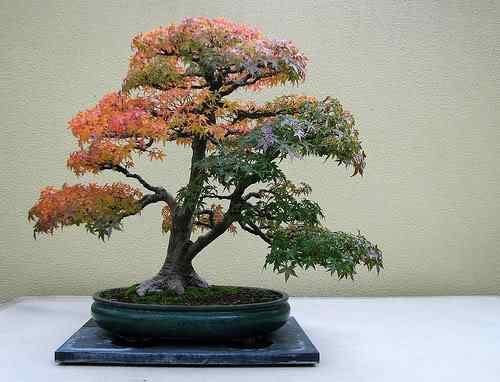 2961041380 e9b647a80d Bonsai: A arte de criar árvores em miniatura