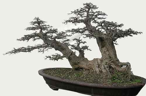 3395496352 350ed93674 Bonsai: A arte de criar árvores em miniatura