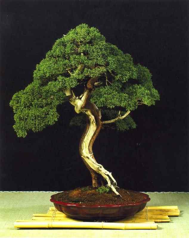 33a Bonsai: A arte de criar árvores em miniatura