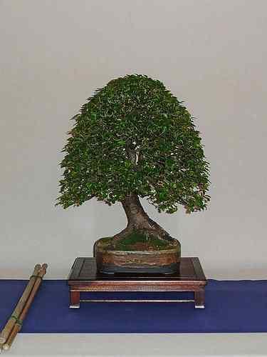 3460584166 19414f5765 Bonsai: A arte de criar árvores em miniatura