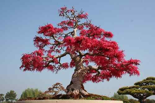 3492327362 55884449b2 Bonsai: A arte de criar árvores em miniatura