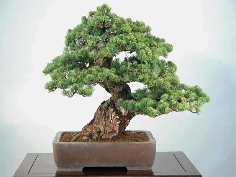 351 Bonsai: A arte de criar árvores em miniatura