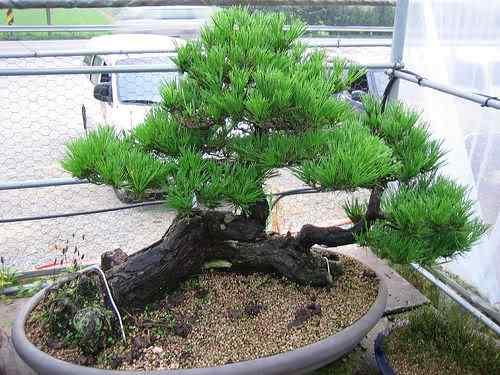 39847640 7215bb87f5 Bonsai: A arte de criar árvores em miniatura