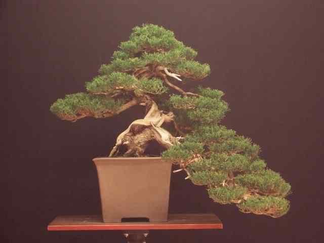 4 cupressus sempervirens bonsai Bonsai: A arte de criar árvores em miniatura
