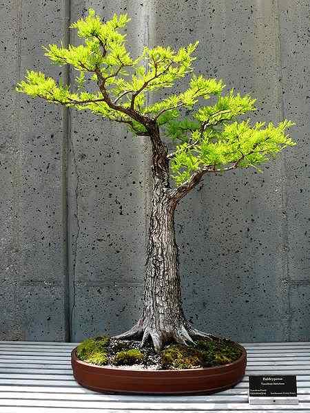 450px NCArboretum Bonsai 27527 4 Bonsai: A arte de criar árvores em miniatura