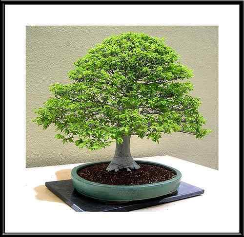 504592381 24bd514d83 Bonsai: A arte de criar árvores em miniatura