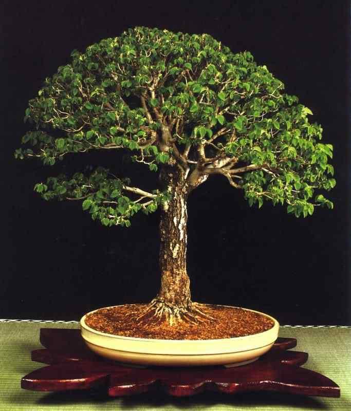 50a Bonsai: A arte de criar árvores em miniatura