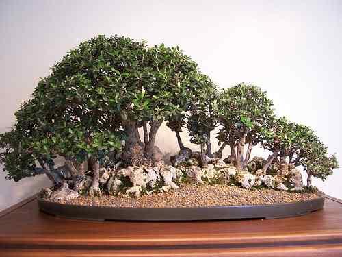 511518133 0e56cc0554 Bonsai: A arte de criar árvores em miniatura
