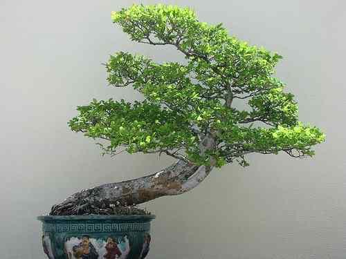 560083008 186b188e67 Bonsai: A arte de criar árvores em miniatura