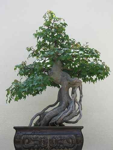 560506525 eb88354e62 Bonsai: A arte de criar árvores em miniatura
