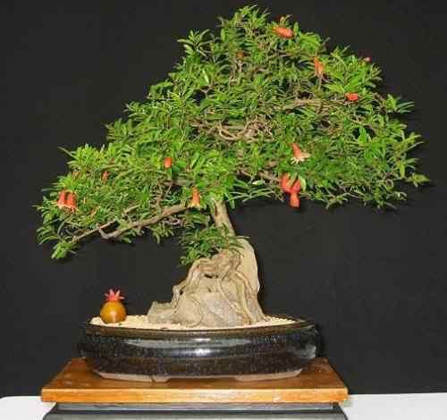 Bonsai 5 Bonsai: A arte de criar árvores em miniatura