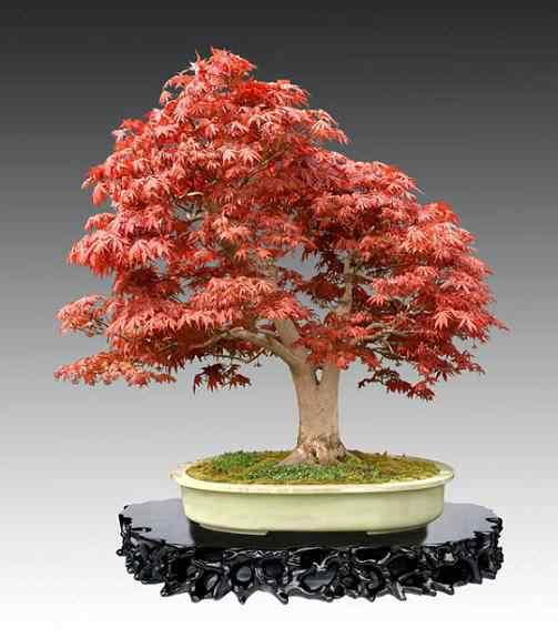 Bonsai 7 Bonsai: A arte de criar árvores em miniatura