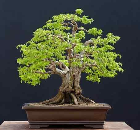 Carpinus orientalis No1 454x420 Bonsai: A arte de criar árvores em miniatura