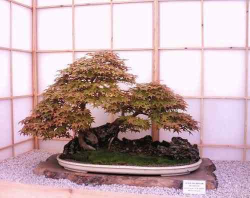 ChelseaFlowerShow2006acerpalmatum Bonsai: A arte de criar árvores em miniatura