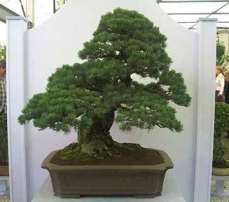 ChelseaFlowerShow2006jwp Bonsai: A arte de criar árvores em miniatura