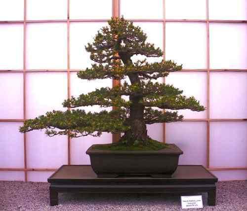 ChelseaFlowerShow2006pine Bonsai: A arte de criar árvores em miniatura