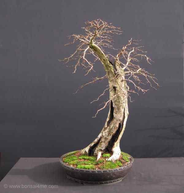 Elmbonsai0211600 Bonsai: A arte de criar árvores em miniatura