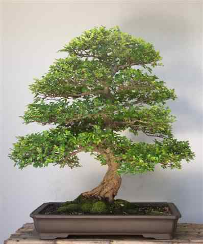 GalleryTobieKleynhans2 Bonsai: A arte de criar árvores em miniatura