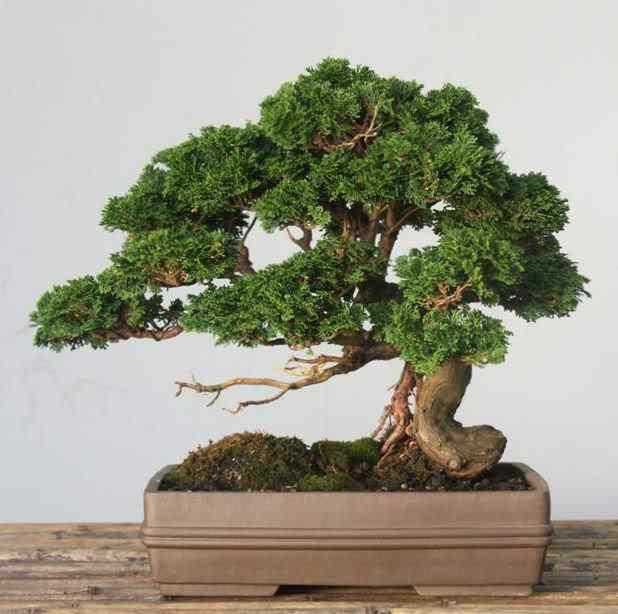 GalleryTobieKleynhans3 Bonsai: A arte de criar árvores em miniatura
