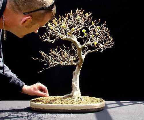HarryHarringtonBeechBonsai Bonsai: A arte de criar árvores em miniatura