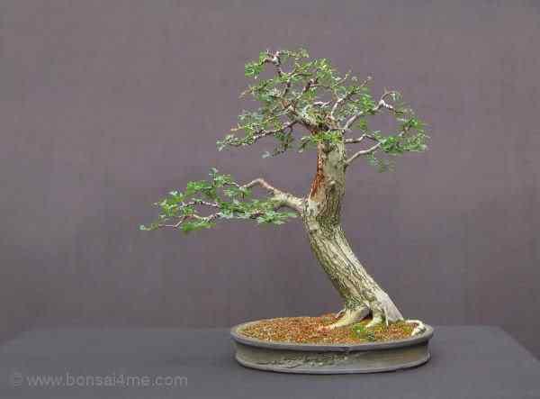 Haw40 Bonsai: A arte de criar árvores em miniatura