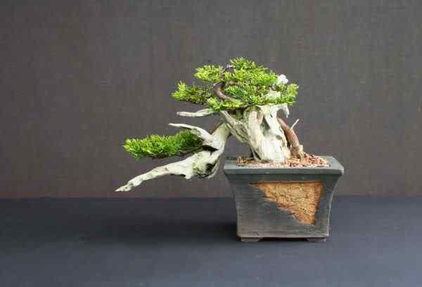 Junipertanukibonsai2 Bonsai: A arte de criar árvores em miniatura