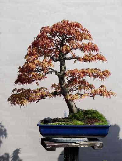 KatsuraMaple Bonsai: A arte de criar árvores em miniatura