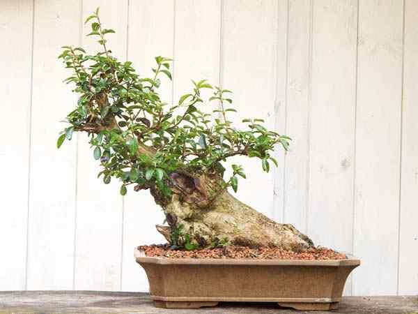 LI 1 Bonsai: A arte de criar árvores em miniatura