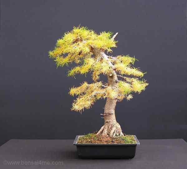 LarchBonsaiOct10 Bonsai: A arte de criar árvores em miniatura