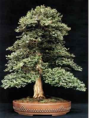 Loniceranitida2MTreasure Bonsai: A arte de criar árvores em miniatura