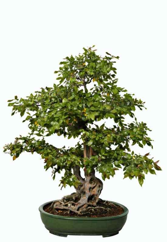 Myrtle Bonsai Bonsai: A arte de criar árvores em miniatura