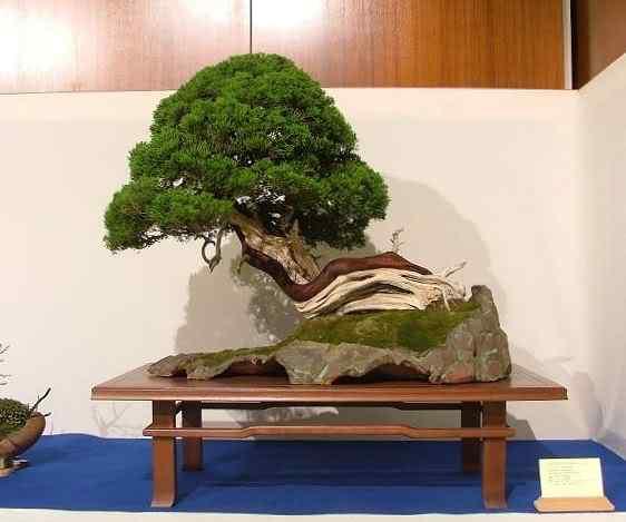 NoelandersTrophyVII13 Bonsai: A arte de criar árvores em miniatura