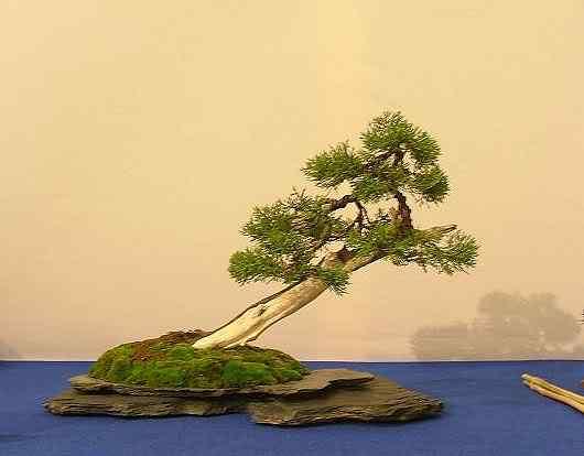 NoelandersTrophyVII134 Bonsai: A arte de criar árvores em miniatura