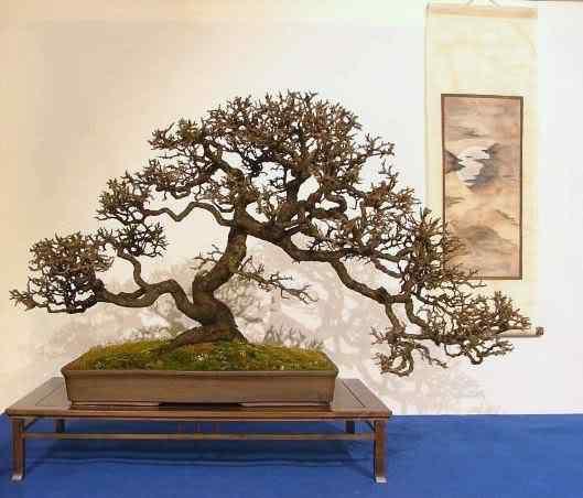 NoelandersTrophyVII14 Bonsai: A arte de criar árvores em miniatura
