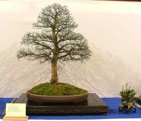 NoelandersTrophyVII178 Bonsai: A arte de criar árvores em miniatura