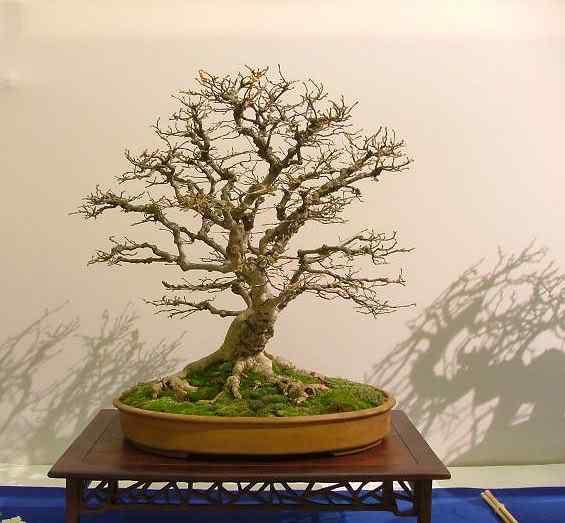 NoelandersTrophyVII23 Bonsai: A arte de criar árvores em miniatura