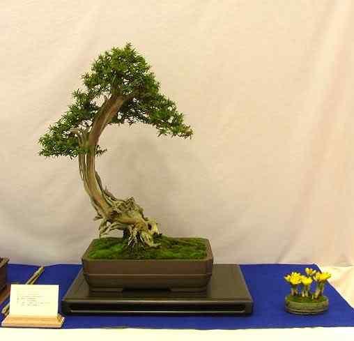 NoelandersTrophyVII25 Bonsai: A arte de criar árvores em miniatura
