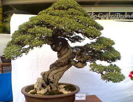 PhilippineBonsaiSocietybonsai2 Bonsai: A arte de criar árvores em miniatura