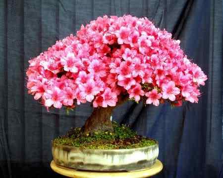 Satsuki Bonsai: A arte de criar árvores em miniatura