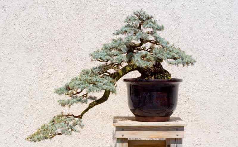Semi Cascade Bonsai Bonsai: A arte de criar árvores em miniatura