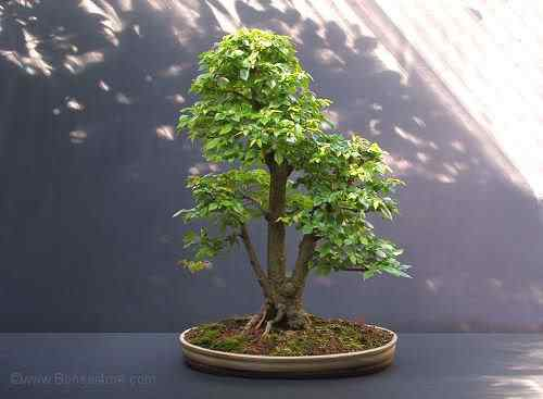 SiberianElmBonsai08081 Bonsai: A arte de criar árvores em miniatura