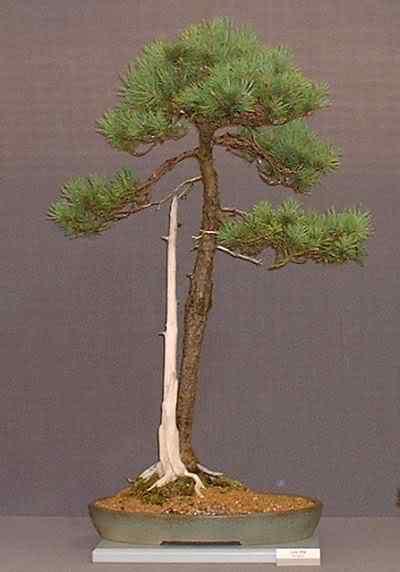 TheNationalBonsaiSocietypine Bonsai: A arte de criar árvores em miniatura