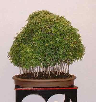 TridentMapleForestCMarcham Bonsai: A arte de criar árvores em miniatura