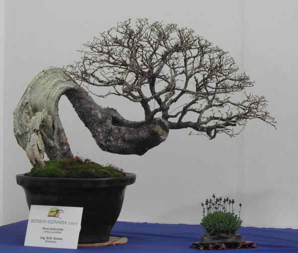 UlmusParvifolia Bonsai: A arte de criar árvores em miniatura